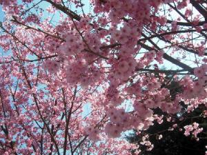 flors de cirerer.png-1