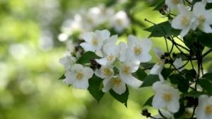 jasmine_flower_127