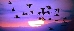 ocells migracio