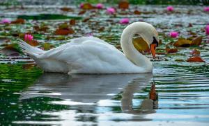 lotus-swan