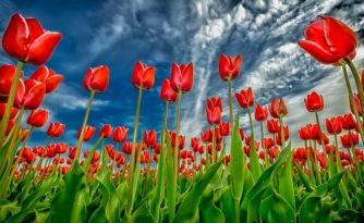 tulipes 6