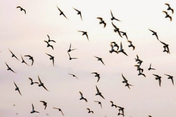 vol d'ocells