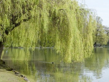 willow-329405_960_720
