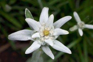 edelweiss-001